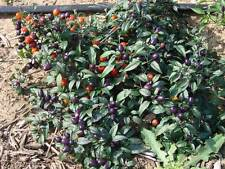 VEGETABLE  HOT CHILLI PEPPER NUMEX CENTENNIAL  800 SEEDS