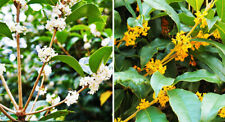 20pcs Osmanthus Flower Seeds Mixed Perennial Tree Shrub Bonsai Fragrant Plant
