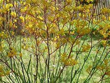 ANIGOZANTHOS YELLOW GEM  IN 75MM SUPERGRO TUBE NATIVE PLANT