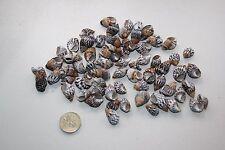 Mottled Nassa Seashells