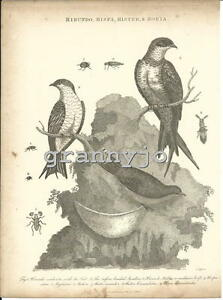 Original 1810 Copperplate Engraving of The Hirundo Hispa Hister Horia by J Pass