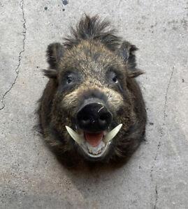 taxidermy mounts wild boar  shoulder mount