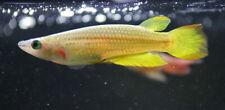 30 Spawn (Eggs) of Aplocheilus lineatus - Golden Wonder (Killifish)