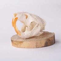 Natural Skull Musk Animal Specimen offers the art of Bone Veterinary 1: 1