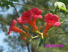 Red Orange Trumpet Creeper Hummingbird Vine - Campsus Radicans - 20 fresh seeds