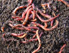 200 Live Red Wiggler Worms Organic for Composting, Fish, Lizard or Turtle Food