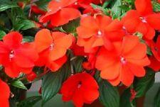 Impatiens Seeds 25 New Guinea Impatiens Divine Orange Green Leaf