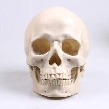 Nice White Human Skull Replica Resin Model Medical Realistic lifesize 1:1