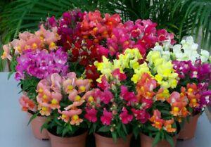 Seeds Snapdragon Dwarf Low Mix Flowers Indoor Annual Garden Ukraine - 2000 seeds