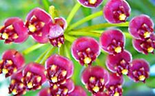 Hoya-Rarität Jungpflanze Kentiana, blühfreudig + pflegeleicht, nur hier :-)!