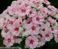 1000 Dianthus Chinensis Seeds Carnation Barbatus Sweet William Flower Perennial