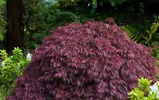 20 Graines Erable , Japanese Maple , Acer Palmatum Dissectum Tree seeds