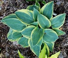 Hosta *CLOWN'S COLLAR* Blue Leaf Edged with a Pale Yellow Border!