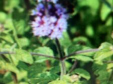 2 LIVE water mint lime mentha  Pond Water Garden Aquarium Plants easy to grow
