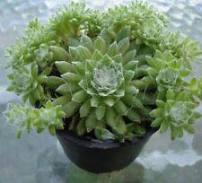 """SEMPERVIVUM ARACHNOIDIES """"Cobweb Succulent"""" House Leek Succulent Plant Cactus"""
