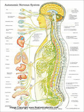 "Autonomic Nervous System Poster 18"" X 24"" Chiropractic Wall Chart"