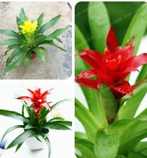 Guzmania Conifera Seeds Tillandsia Seed Tillandsia Ionantha Seed