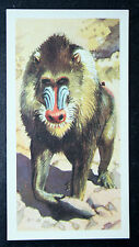 MANDRILL    Vintage Illustrated Colour Card  #  VGC