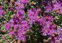 Ironweed (Vernonia Fasciculata)- 200 Seeds