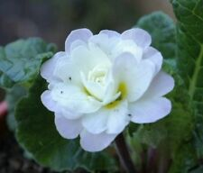 Primula H7 (< -20 ° C) Hardiness Perennial Flowers & Plants