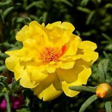 Moss Rose- Portulaca- Yellow- 200 Seeds - - BOGO 50% off SALE