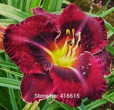 Day Lily Daylily Seeds Hemerocallis Ebony Pools-100 seeds Hemerocallis Fulva day