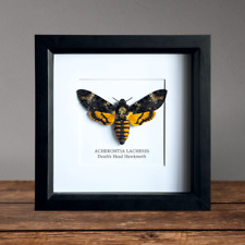 Death's Head Hawkmoth in Box Frame Taxidermy Insect Moth Butterfly Art Interior