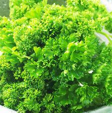 30 Parsley Seeds Petroselinum Sativum Parsley Petroselinum Herb Organic