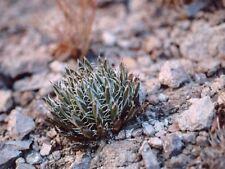 Agave parviflora - Santa Cruz Striped Agave - 20 Seeds