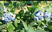 "4 Blueberry Live Plants Biloxi Southern Highbush Four Plant Fruit 2 ""Pot Garden"
