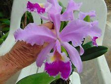 Cattleya Gigas 'Hdo' Bloom size 4 inch wood slat basket Species
