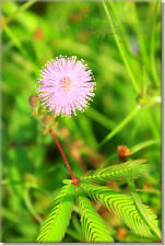 * Amazing MOVING PLANT (Mimosa Pudica) Seeds * With Care Instructions *