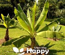 Ethiopian banana plant - 5 large seeds - Banana seeds - Ensete ventricosum musa