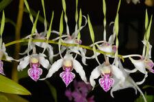 Dendrobium stratiotes, orchid plant
