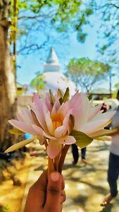 Katharagama Kiri Vehera and the White lotus flower Picture Photo Image
