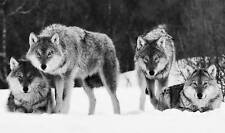"""LARGE CANVAS PICTURE WOLVES BLACK AND WHITE 34""""x 20"""""""