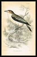 1840 Black-crowned Flycatcher, Hand-Colored Plate - Naturalists Library