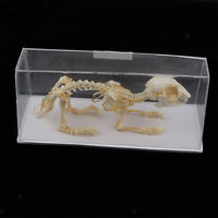 Rabbite Skeleton Taxidermy Animal Specimen Bones Biology Anatomy Study Aid