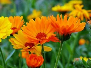 150 Graines de Soucis - fleurs amis jardins potager - méthode BIO