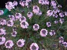 50+ Aethionema Persian Rock Cress / Evergreen Perennial Flower Seeds