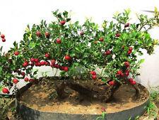 Chinese hawthorn 10 seeds Crataegus pinnatifida tree Edible Hardy CombSH M52