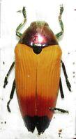 I BUPRESTIDAE Metaxymorpha apicalis FROM Aru isl.