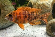 """OB PEACOCK AFRICAN CICHLID MALE APPROX 3.75"""""""
