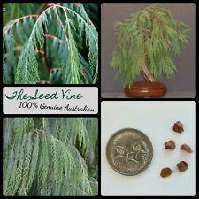 20+ WEEPING CYPRESS SEEDS (Cupressus cashmeriana) Kashmir Pine Bonsai Hardy
