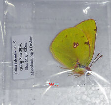 COLIAS BALCANICA* male  A1* papered/getütet