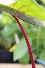 Colocasia Sangria ° oreille d'éléphant ° 1 plant ° rustique