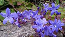 CAMPANULA POSCHARSKYANA TRAILING BELLFLOWER BEAUTIFUL BLUE FLOWERS SCARCE SP.