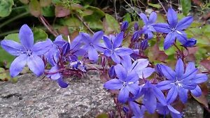 CAMPANULA POSCHARSKYANA TRAILING BELLFLOWER BEAUTIFUL BLUE FLOWERS 50 SEEDS
