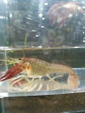 Pair of Scarlett Red 2-3 inch live freshwater Crayfish Lobsters