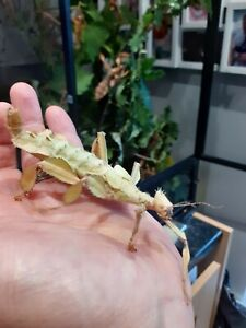 Giant Prickly Stick Insects - 10 x Eggs fresh eggs! From huge breeding stock!!!